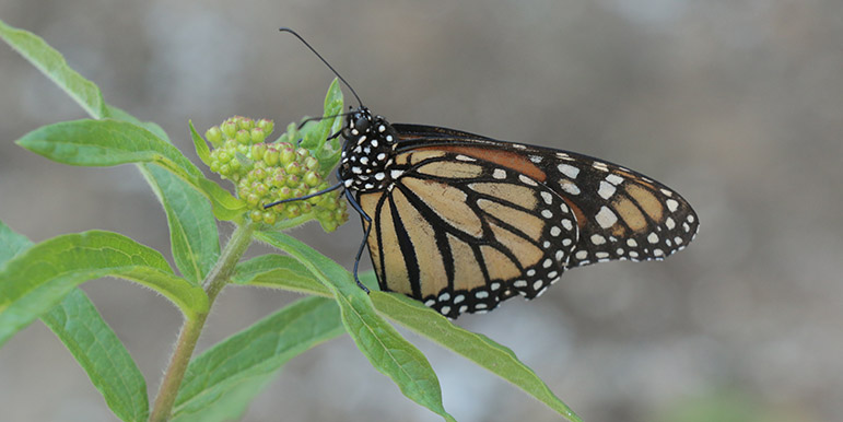 May: A monarch butterfly on a milkweed plant. Monarchs lay their eggs only on milkweed.
