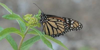 Pollinator 2: Monarch on milkweed