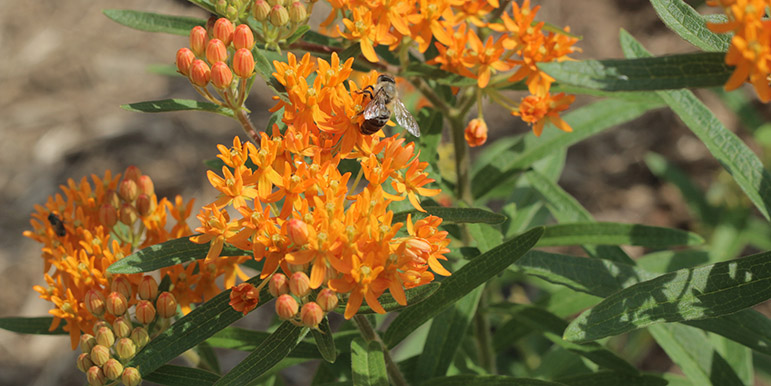 July: A honeybee sips at milkweed blossoms.