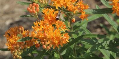 Pollinator 3: Honeybee