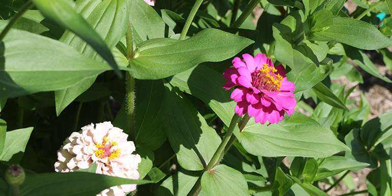 August: Zinnias have burst into bloom in the pollinator garden.