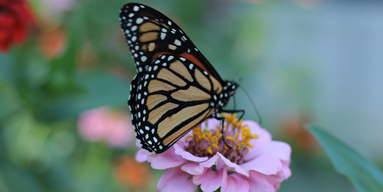 September: A newly-hatched wild monarch butterfly perched on a zinnia.