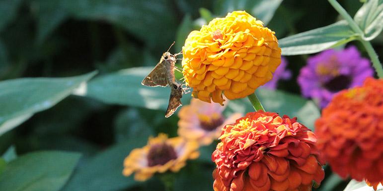September: Moths on the zinnias.