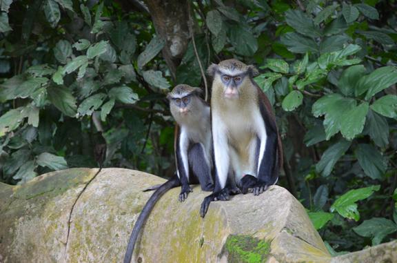 Fig. 11: Vervet Monkeys, sitting on one of the New Sacred Art walls, Osun Grove (Ogundiran 2011–2012)