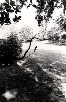 Joe Mills, Untitled [Horizontal Tree Branch on South Lawn], 1979, HC.PH.1995.11