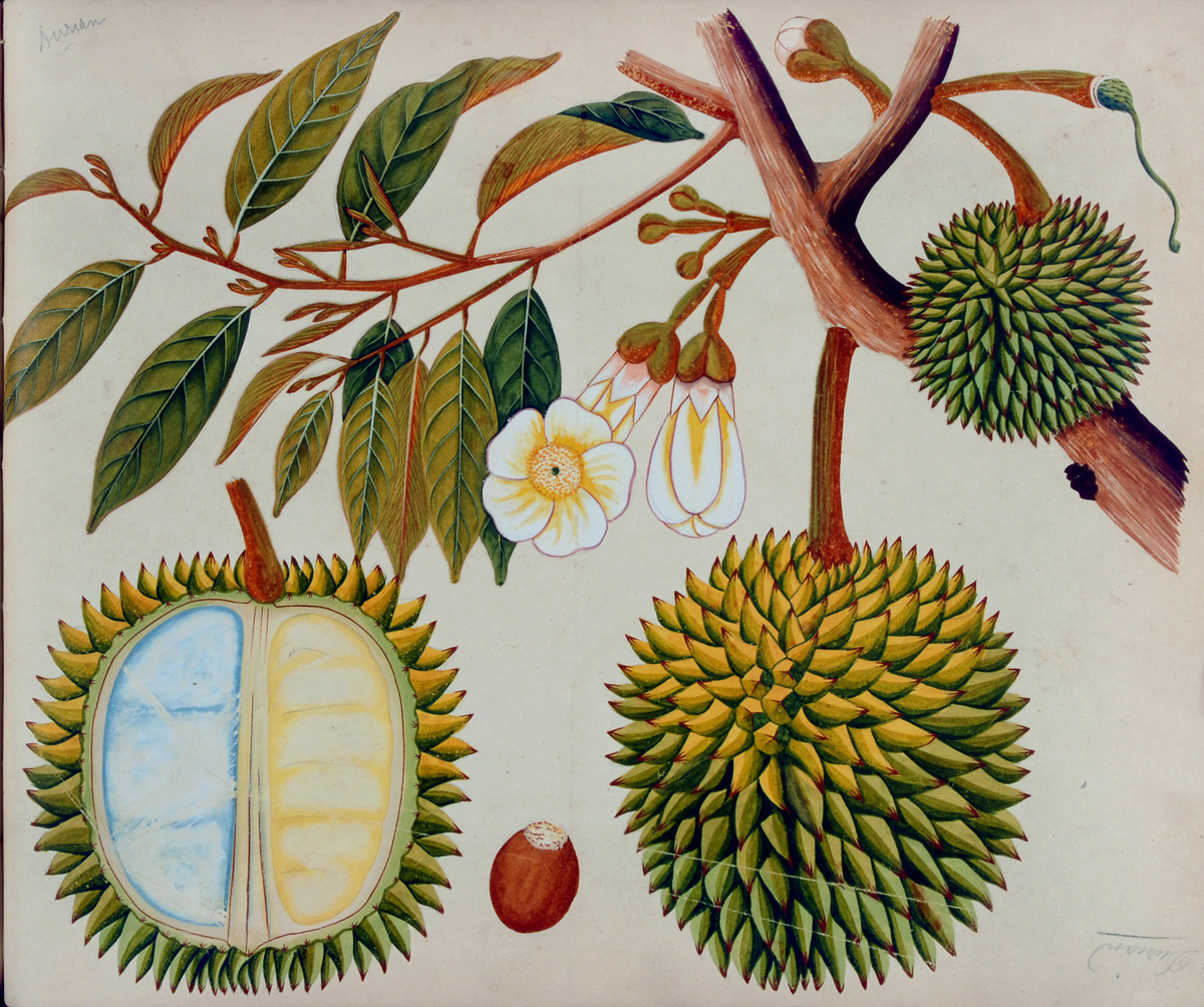 Durian, from an album of watercolors of Asian fruits and flowers, ca. 1798-1810. Dumbarton Oaks Rare Book Collection