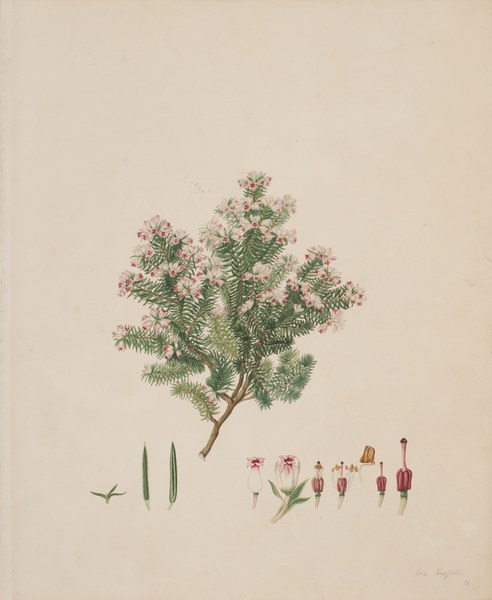 Kew Gardens and Franz Bauer