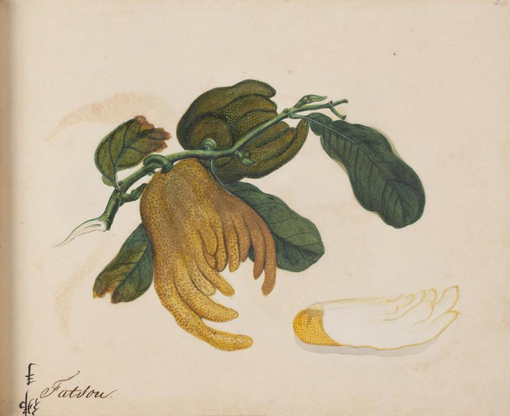 Album of 70 Asian fruit paintings.