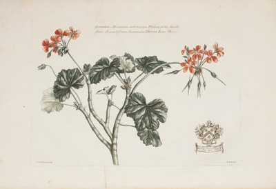 Geraniums and Pelargoniums