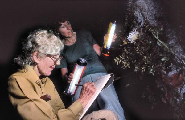 Margaret Mee sketching Selenicereus wittii, nighttime, 1988, Rio Negro, Amazon