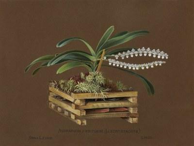 Angraecum pertusum (listrostachys), Sierra Leone, Lindl.