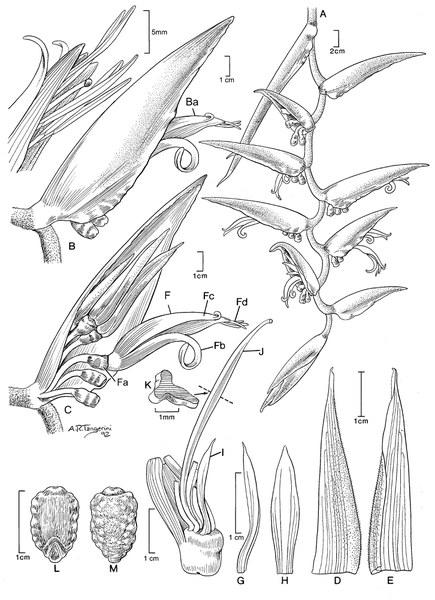 Heliconia chartacea var. meeana