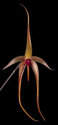 Orchid Study I, S.I. Bulbophyllum