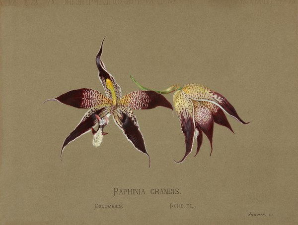Paphinia grandis, Columbien, Rchb. Fil.