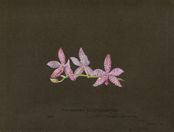 Phalænopsis Luddemanniana [Lüddemanniana], Java, Sander et Rchb. Fil