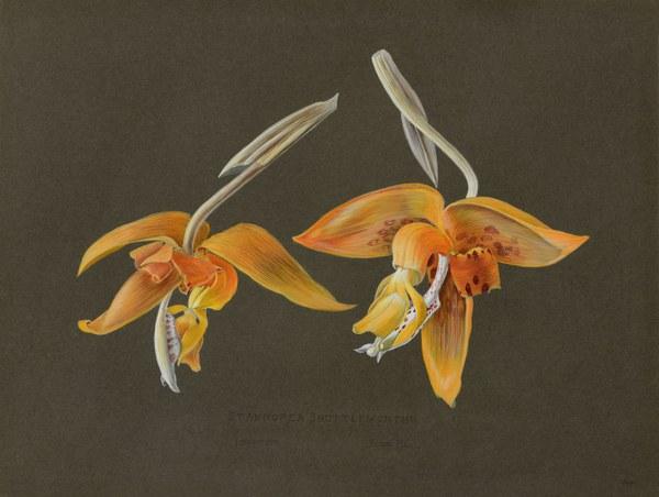 Stanhopea Shuttleworthii, Frontino, Rchb. Fil.