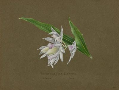 Thunia Alba var. Litacina [lilacina?], O. Indien, Hort.