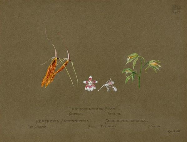 Trichocentrum Pfavii, Chiriqui, Rchb. Fil.; Restrepia Antennifera, Neu Grenada, Kth.; Coelogyne Sparsa, Philippinen, Rchb. Fil.