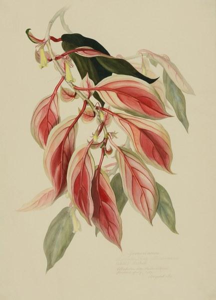 Nematanthus fluminensis