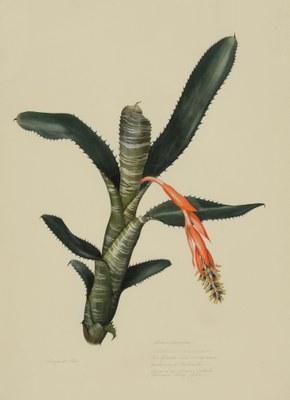 Aechmea nudicaulis