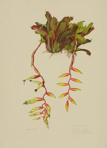 Vriesea simplex