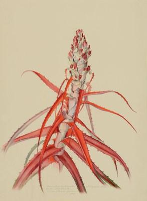 Bromelia anticantha