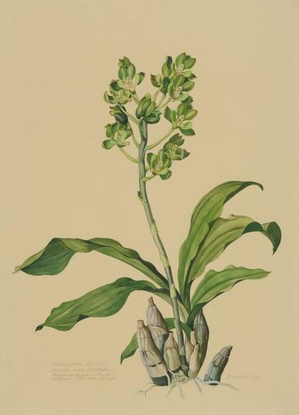 Catasetum trulla Lindl. var. trilobatum