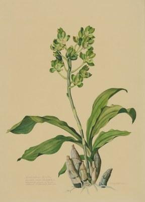 Catasetum trulla