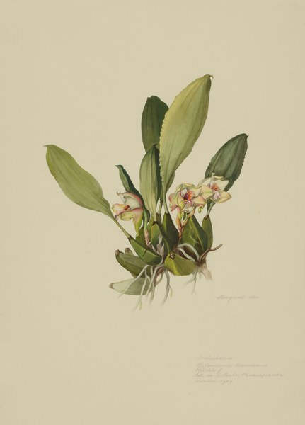 Bifrenaria harrisonae