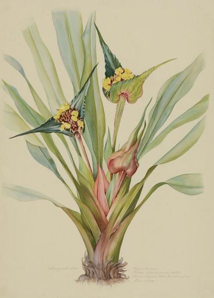 Rapataceae