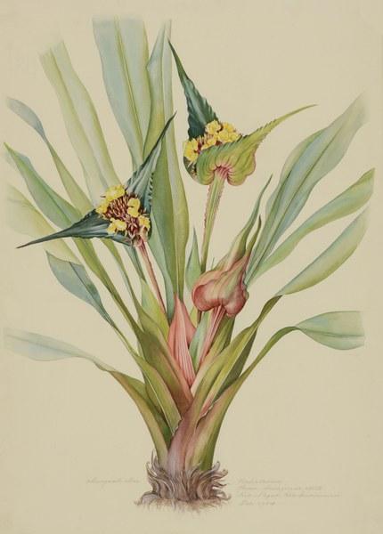 Rapateaceae