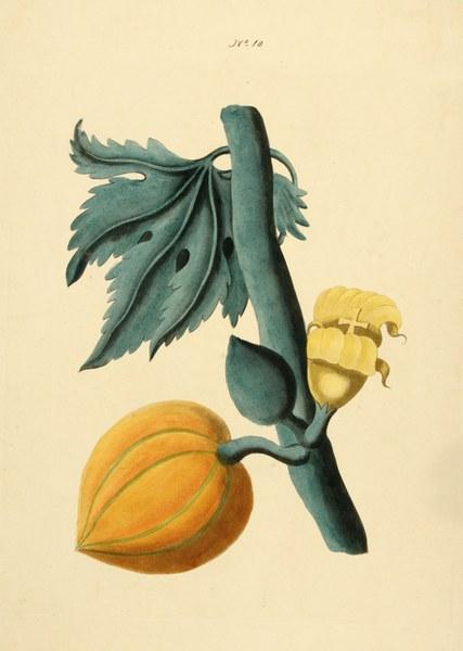 Carica papaya, or, papaw tree; the female tree