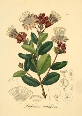 Lafoensia densiflora