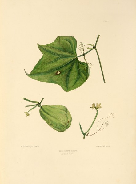Sechium edule. The eatable choko, or chou-chou