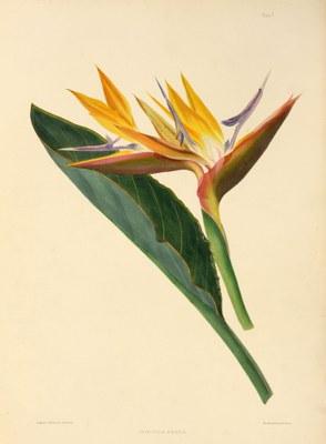 Strelitzia reginae. Canna-leaved strelitzia