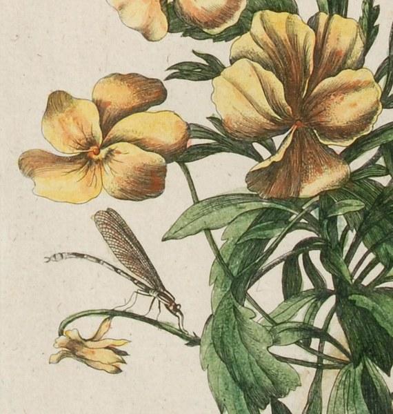 Histoire générale des insectes de Surinam et de toute l'Europe
