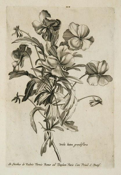 Variae ac multiformes florum species expressae ad vivum et aeneis tabulis incisae