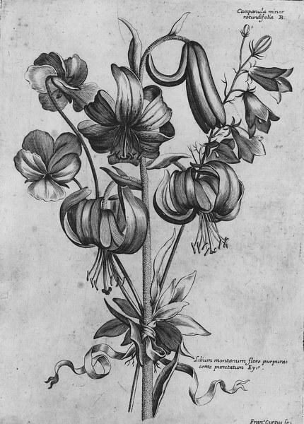 Campanula minor rotundifolia