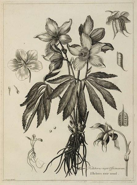 Helleborus niger Officinarum