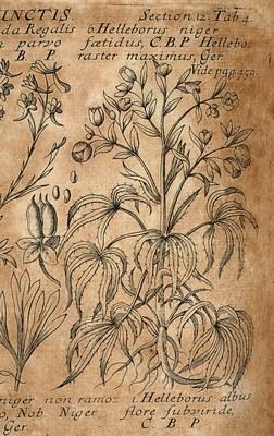 Plantae Multicapsulares Capsulis Disjunctis