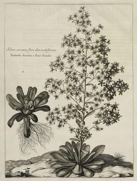 Sedum serratum, flore albo, multiflorum