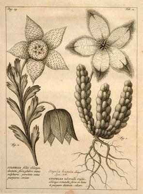 Rariorum Africanarum plantarum