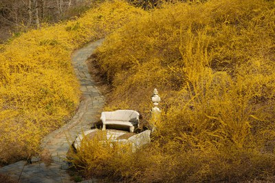Forsythia Dell