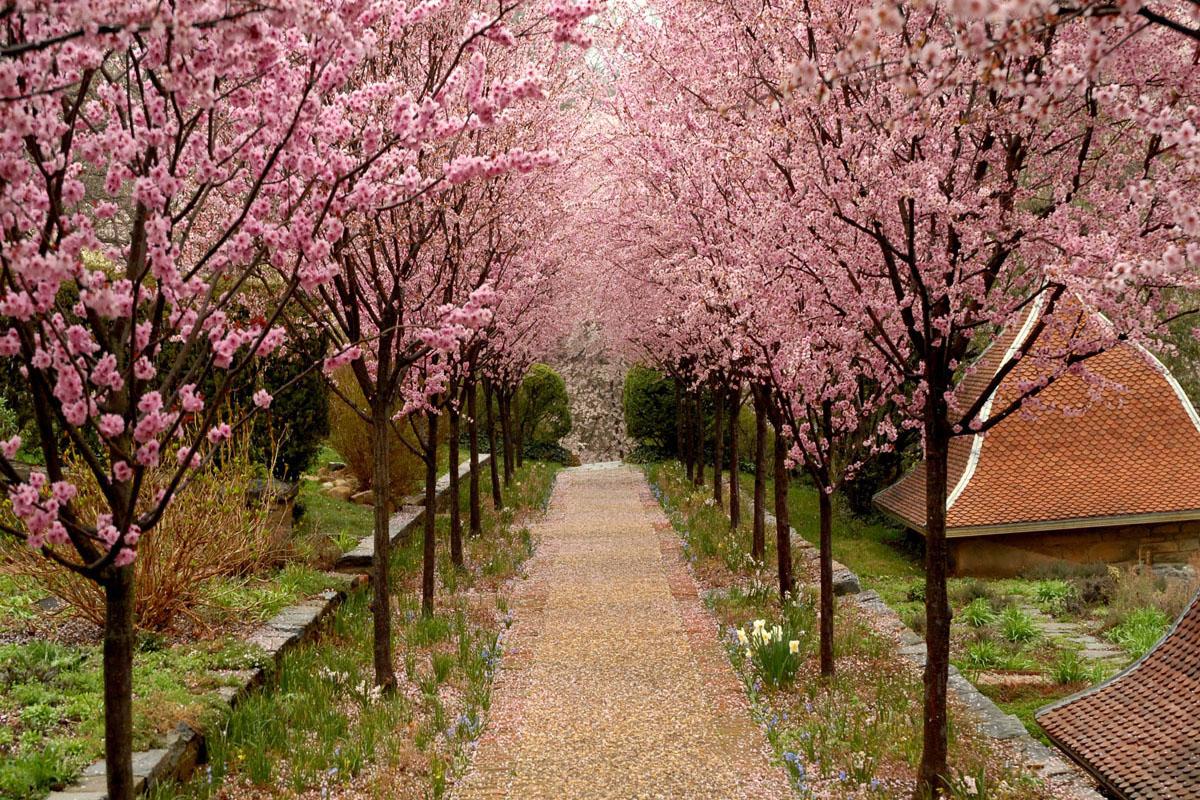 Prunus Walk — Dumbarton Oaks